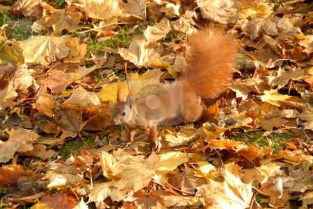 Squirrel stock photo, Red squirrel at warm autumn fall day by Joanna Szycik