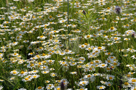 Camomile stock photo, A host of camomile basking in the summer sun by Joanna Szycik