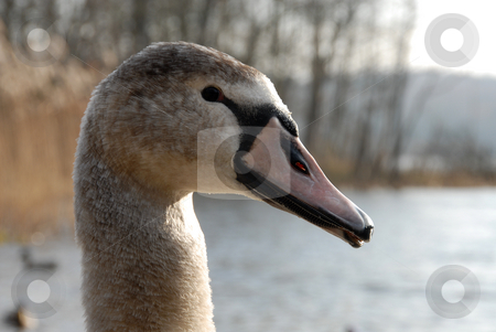 Swan stock photo, Head of young grey swan with background out of focus by Joanna Szycik