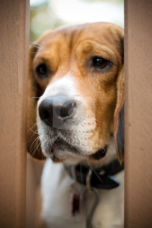 Sad Beagle stock photo, A young beagle dog gazes through the gate with a sad look on his face.  He has separation anxiety.  Shallow depth of field. by Todd Arena