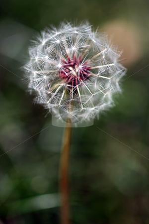 Dandelion Seed Head stock photo, Dandelion full seed head with blurred natural background. by Henrik Lehnerer