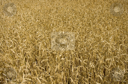 Wheat field ready for harvest stock photo, Golden wheat field in the middle of summer ready for harvest. by Robert Ranson