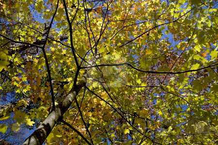 Autumn leaves stock photo, View up a tree of it's colorful autumn leaves. by Robert Ranson