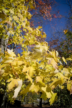 Autumn leaves stock photo, Yellow autumn leaves extending of the branch of a tree. by Robert Ranson