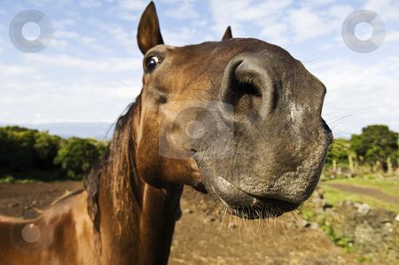 Inquisitive horse stock photo, Horses. Azores Islands, Portugal by Manuel Ribeiro