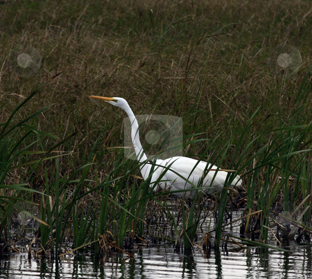 Egret stock photo, Adult Egret hunting in marsh by Marburg