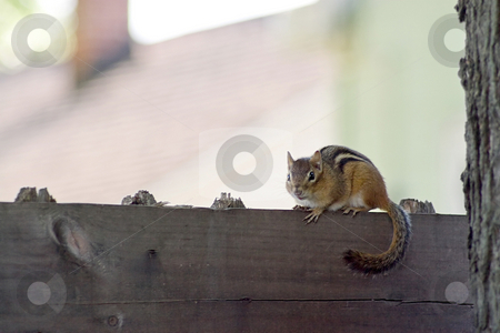 Chipmunk stock photo, A cute little chipmunk standing on a fence. by Todd Arena