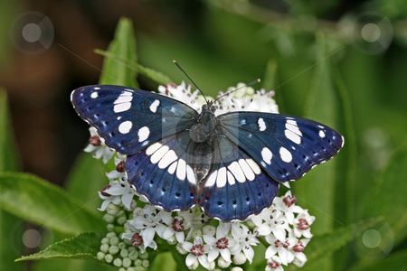 Southern White Admiral (Limenitis reducta) Rare butterfly in Europe stock photo, Southern White Admiral (Limenitis reducta) Rare butterfly in Europe by Lothar Hinz