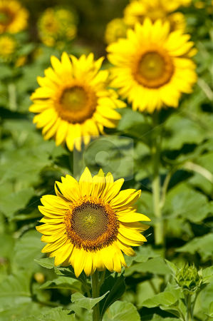 Sunflowers stock photo, Three sunflowers in the field with one leading two another by Pawee Lorsuwannarat