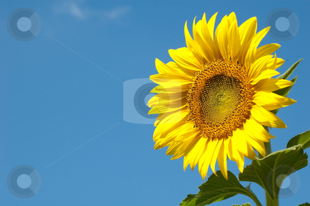 A lovely sunflower stock photo, A lovely sunflower with vivid blue sky by Pawee Lorsuwannarat
