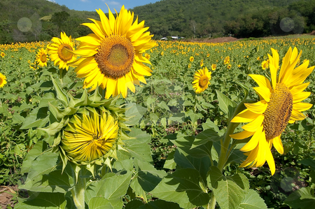 Sunflowers Family stock photo, Scene of sunflowers that look like Mom Dad and Son by Pawee Lorsuwannarat