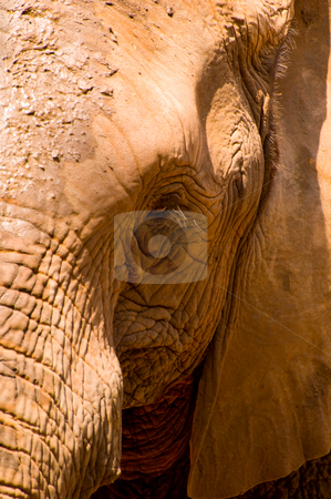 Elephant stock photo, A face showing an emotion of elephant at Korat Zoo, Thailand. by Pawee Lorsuwannarat