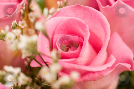 Closeup Rose stock photo, Closeup view of a pink colored rose, surrounded by small white flowers by Richard Nelson