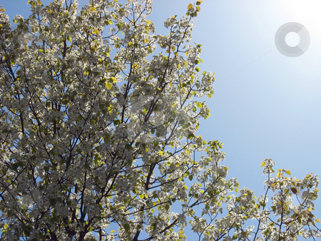 Spring Radiance stock photo, A beautiful lens flare over some blossoming trees in the springtime. by Todd Arena