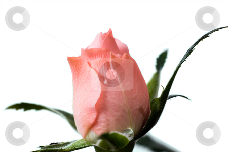 Rose Bud stock photo, Macro view of a mini rose bud, isolated against a white background by Richard Nelson
