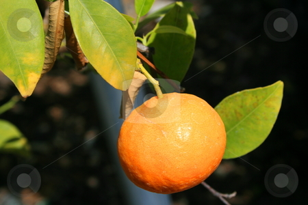 Mandarin stock photo,  by Michael Felix