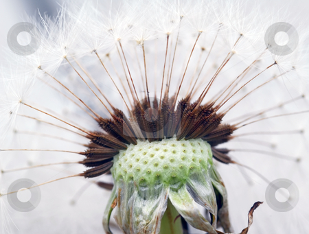 Dandelion stock photo, Extreme close-up of a dandelion in full bloom by Alain Turgeon