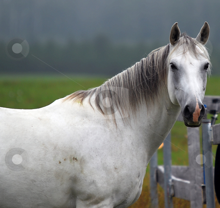 White Horse stock photo, Portrait of a white horse, taken sideways by Alain Turgeon