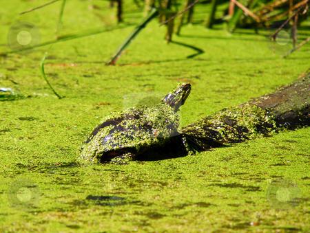 Turtle stock photo, Turtle taking a sunbath on a log by Alain Turgeon