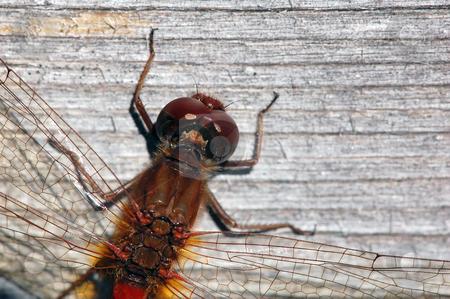 Common Darter (Sympetrum striolatum) stock photo, Close-up picture of a Common Darter (Sympetrum striolatum) by Alain Turgeon