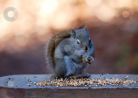 North American red squirrel stock photo, A picture of a North American red squirrel (Tamiasciurus hudsonicus) eating some seeds by Alain Turgeon