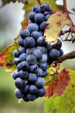 Grapes stock photo, Pink wine grape cluster with leaves at an orchard by Christopher Meder
