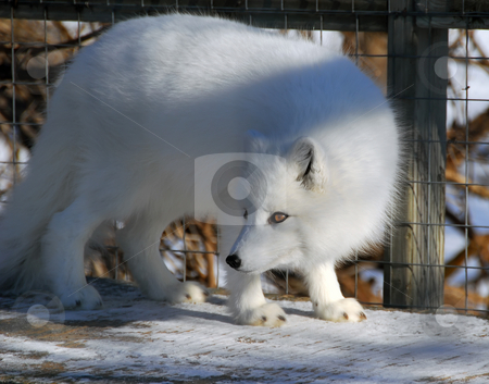 Arctic Fox stock photo, Close picture of an Arctic Fox in cage by Alain Turgeon