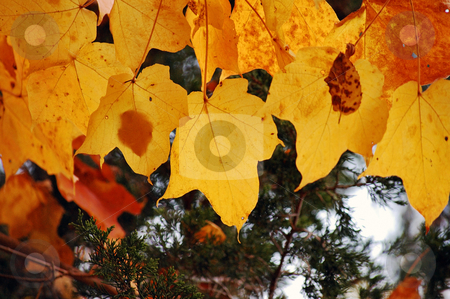 Maple and pine stock photo,  by Heather Shelley