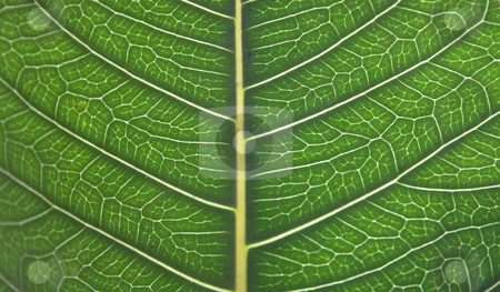 Detailed Leaf Structure stock photo, Detailed Leaf Structure with Sun Back light by Bhavesh Chhatbar
