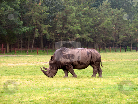 Rhinocerous stock photo, A big old rhino out in the field. by Todd Arena