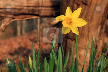 Daffodil stock photo, Daffodille in late winter backgound foliage by Jack Schiffer