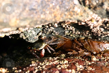 Crab stock photo, Crab near the ocean water trying to hide. by Henrik Lehnerer