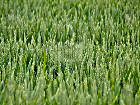 Young wheat field stock photo, Young wheat field with shallow depth of field by Laurent Dambies