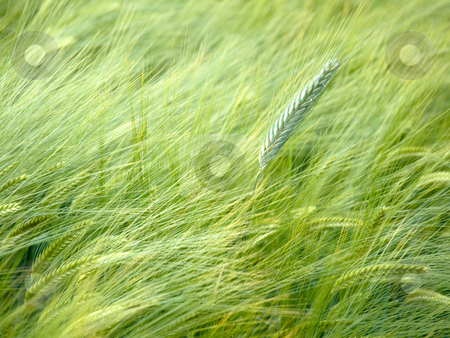 Green wheat field stock photo, Close up shot of a green wheat field at spring by Laurent Dambies