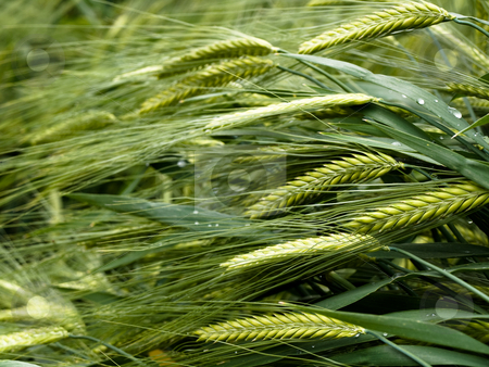 Green wheat stock photo, Green wheat field with rain drops by Laurent Dambies