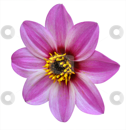 Dahlia Mystic Dreamer stock photo, Dahlia Mystic Dreamer isolated with clipping path by Margo Harrison