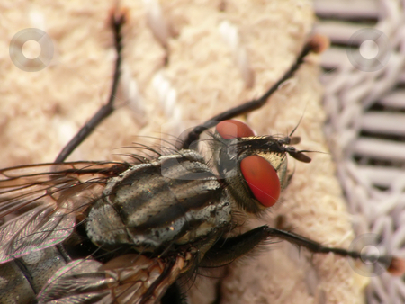 Macro fly stock photo, Macro picture of an house fly by Matteo Malavasi
