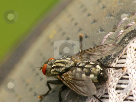 Macro fly stock photo, Macro picture of a fly (Sarcophaga carnaria) by Matteo Malavasi