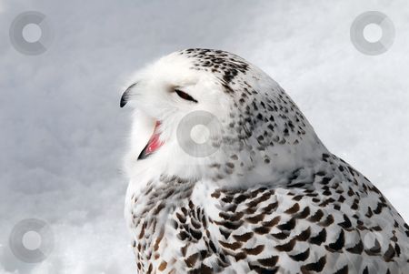Snowy Owl stock photo, Close-up picture of a male Snowy Owl by Alain Turgeon