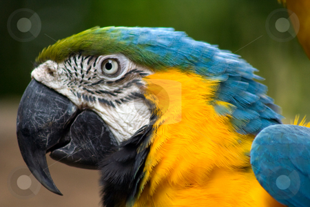 Macaw stock photo, Closeup of orange breasted macaw by Thomas Marchessault