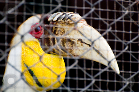 Hornbill in a cage stock photo, A hornbill in a cage by Pawee Lorsuwannarat