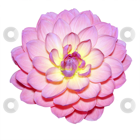 Waterlily Dahlia Variety stock photo, Waterlily Dahlia Variety isolated with clipping path by Margo Harrison