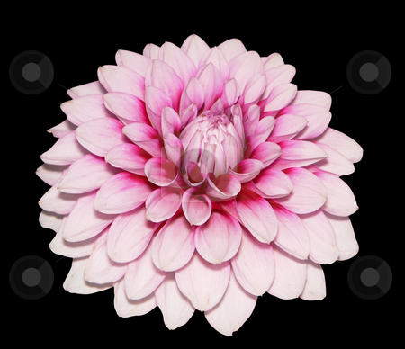 Pink Dahlia stock photo, Pink Dahlia isolated with clipping path by Margo Harrison