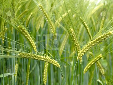 Green durum wheat field stock photo, Close up of a Green durum wheat field by Laurent Dambies