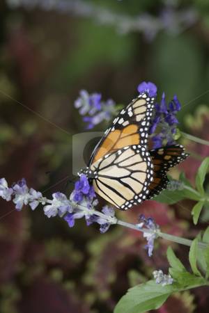 Monarch Butterfly on Lupine stock photo, A Monarch Butterfly resting on a Lupine. Taken near Santa Cruz, CA near the coast. by Ralph Muzio