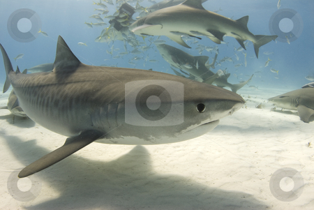 Tiger Shark with Frenzy 2 stock photo, A tiger shark (Galeocerdo curvier) swims by as lemon sharks eat behind her by A Cotton Photo