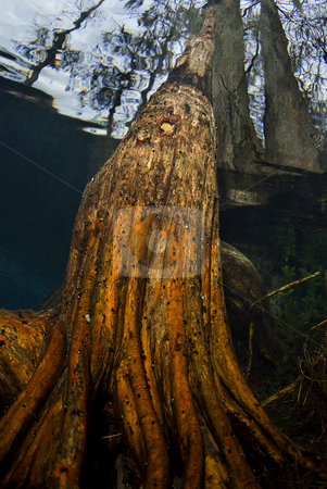 Fisheye Tree Roots stock photo, Underwater fish eye view of the roots of a tree growing up from the floor of a flooded pond by A Cotton Photo