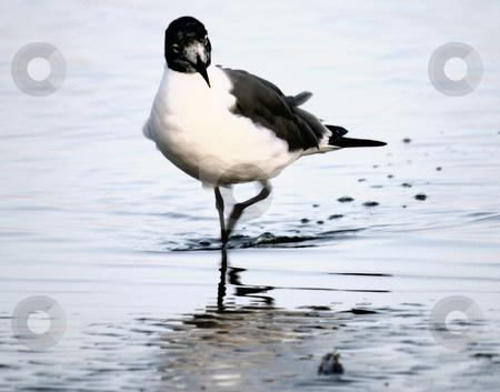 Bird Walk stock photo, Bird walking in the water on the beach. by Marburg