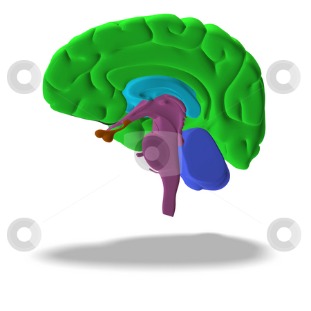 Profile / section of a human brain stock photo, Cut through a human brain with clipping path by Ralf Kraft