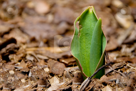 Tulip Sprout stock photo, A young tulip sprout poking through the earth. by Robert Byron